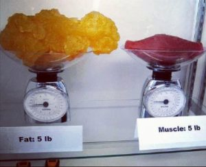 size of fat and muscle