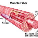 Fast Twitch and Slow Twitch Muscle Fibers