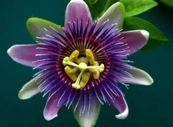 passionflower as an herbal treatment for anxiety