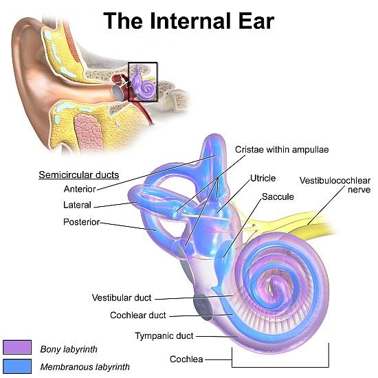 inner ear bones