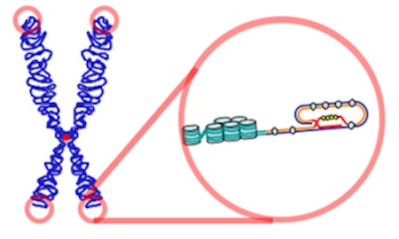 Is Telomerase the Fountain of Youth?