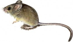 Mice Can Burn Fat Without Exercise