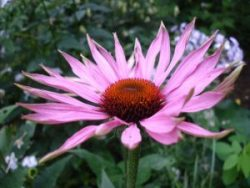 Echinacea for Anxiety?